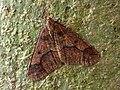 70.256 BF1935 Mottled Umber, Erannis defoliaria (8342219112).jpg