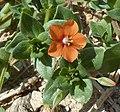A. arvensis-flor-1.JPG