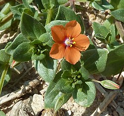 Imagini pentru anagallis arvensis planta