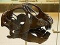 AMNH 467 Camarasaurus skull.jpg