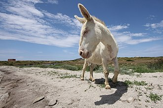 Asinara National Park - The endemic local Albino Donkey