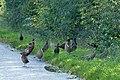 A Phalanx of Pheasants near Thornborough - geograph.org.uk - 1012257.jpg
