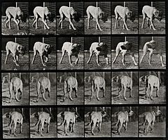 A dog prowling. Photogravure after Eadweard Muybridge, 1887. Wellcome V0048767.jpg