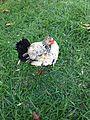 A galinha.JPG