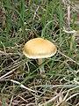 A mushroom within Ordie Gordon enclosure - geograph.org.uk - 981734.jpg