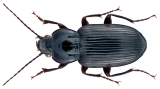 <i>Abacetus</i> genus of insects