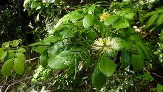 <i>Abarema</i> genus of plants