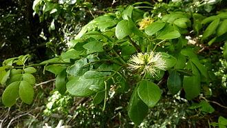 Abarema cochliocarpos - Image: Abarema cochliacarpos (Gomes) Barneby & J.W.Grimes