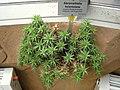 Abromeitiella lorentziana - Berlin Botanical Garden - IMG 8728.JPG