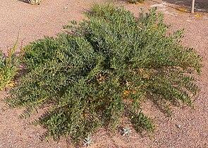 Acacia redolens 1.jpg