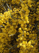 Wattle is the flower on the Coat of Arms of Australia.