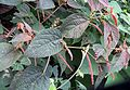 Acalypha sp. (25232177966).jpg