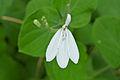 Acanthaceae (Rhinacanthus gracilis) flower (17163755730).jpg