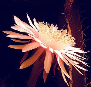 Acanthocereus tetragonus - Open bloom