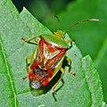 Acanthosomatidae - Elasmostethus interstinctus.JPG