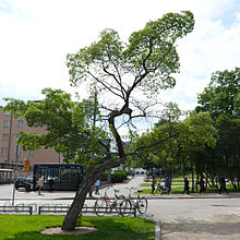 Acer tataricum.jpg