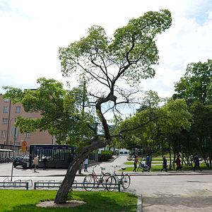 Acer tataricum - Image: Acer tataricum