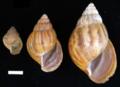 Achatina fulica shell 6.png