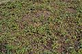 Achyranthes aspera - Agri-Horticultural Society of India - Alipore - Kolkata 2013-01-05 2310.JPG