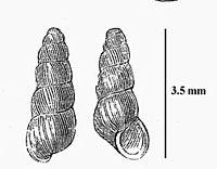 Acicula fusca