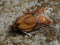 Acleris aspersana - Ginger button - Плоская листовёртка клубничная (44491165241).jpg