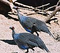 Acryllium vulturinum (21444324242).jpg