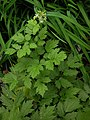 Actaea spicata plant (01).jpg