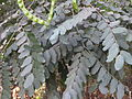Adenanthera pavonina114.JPG