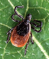 Adult deer tick(cropped).jpg