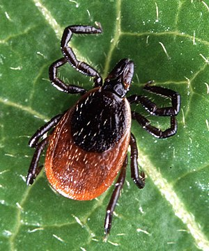 Vector (epidemiology) - The deer tick, a vector for Lyme disease pathogens.