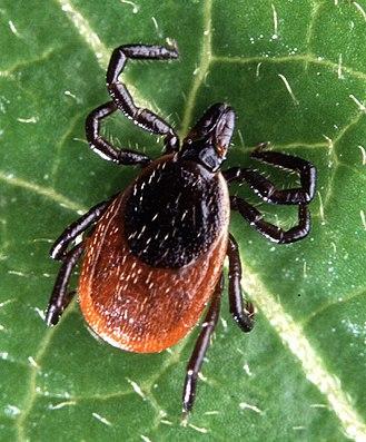 Ixodes - Ixodes scapularis
