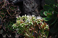 Aeonium davidbramwellii.jpg