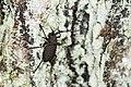 Aethalodes verrucosus formosanus (34910831712).jpg