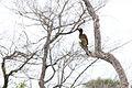African Grey Hornbill 2359367400.jpg
