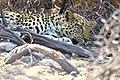 African Leopard Sleep 2019-07-28.jpg