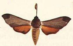 Afroclanis calcareus.JPG