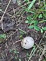 Agaricus bisporus, Agaricaceae 02.jpg