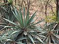Agave angustifolia-3-foot hill-yercaud-salem-India.jpg