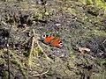 Aglais io in the Teufelsbruch swamp 01.jpg