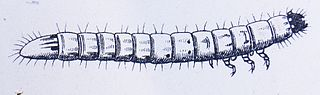 Kresba larvy kováčika