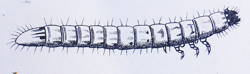 Fichier:Agriotes lineatus larva.JPG