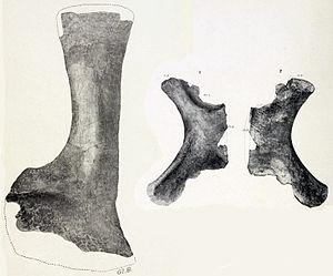 Alamosaurus - Holotype scapula and paratype ischium