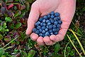 Alaska Blueberries in the NPR-A, North Slope, Alaska (9840189575).jpg