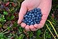 Alaska Blueberries in the NPR-A, North Slope, Alaska (9840189575).jpg