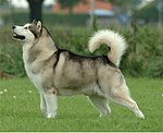"""A white and grey husky-like dog faces left. Its tail curves over its back."""