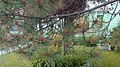 Alberta Pine (4807991624).jpg