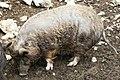 Albrecht-duerer-schwein-hundshaupten.jpeg