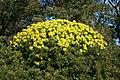 Alcúdia - Cami de Manresa - Euphorbia dendroides 03 ies.jpg