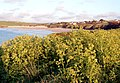 Alexanders at Harlyn Bay - geograph.org.uk - 1294318.jpg