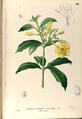 Allamanda cathartica Blanco1.30-original.png